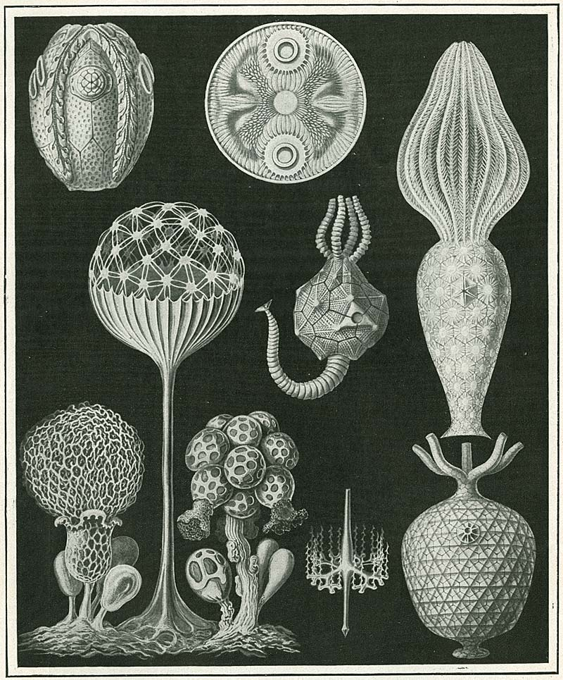 Theory: Organic Shapes- Ernst Haeckel's Art Forms in Nature ...